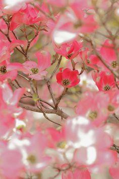 Dogwood - Pretty flowering plants