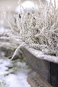 Frosty heather in cast iron urn.  I have this urn! Must try!