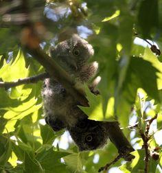 Screech-Owl Babies May2012