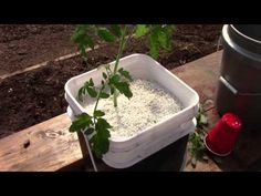 Starting Up Hydroponic Dutch Bucket Tomatoes - YouTube