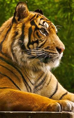 Majestic tiger by redditpictures