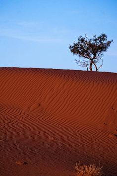 A lone tree clinging to the red sandy desert soil. #outback #australia #desert #dune #sand #tree