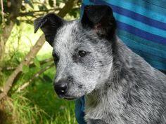 Австралийская короткохвостая пастушья собака (Australian Stumpy Tail Cattle Dog) - описание породы собак - щенок
