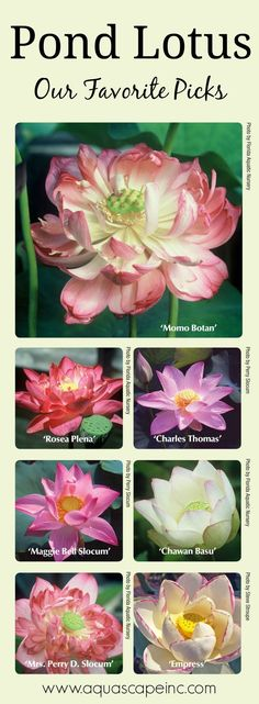 See our list of favorite lotus for your pond or container water garden. See our list of favorite lotu Pond Plants, Aquatic Plants, Water Plants For Ponds, Pond Design, Garden Design, Container Water Gardens, Container Pond, Pond Fountains, Outdoor Fountains