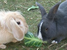 There is a lot said about rabbits eating brassicas - cabbage and broccoli for example.  Are they healthy foods or not?  Will they cause gas?  Find out more on our website Rabbit Diet, Rabbit Eating, Rabbit Food, Veterinary Surgeon, Dwarf Rabbit, Healthy Foods, Healthy Recipes, Health And Wellbeing, Rabbits