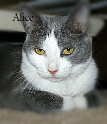 Alice! An adoptable Domestic Short Hair Cat in Wyoming, MN.  Age: 6 - 7 months at date of arrival (3/14/2013) Breed: DSH - Grey & White  How I Arrived At NHS: I was surrendered with my...
