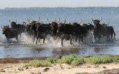 Taureaux en Camargue. / Bulls in the National Park of La Camargue, South of France.