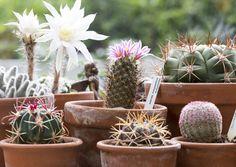 Kaktukset ovat pieniä, helppohoitoisia ja koristeellisia huonekasveja. Jotkut niistä kukkivat. Katso Viherpihan kuvat ja kokeile kasvatusta itse. Planter Pots