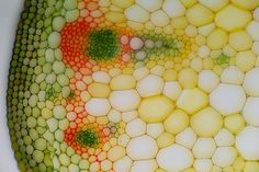 Vascular bundles in this cross section of a dahlia flower stalk help the plant distribute water and nutrients to its tissues.