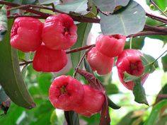 Red Bell Fruit/Water Apple: did anyone else eat this? I have no idea what they called it in the Philippines but I remember loving the taste of this!