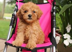 Lancaster Puppies has Toy Poodles for sale now! View our adorable puppies today and find your next furry friend! Toy Poodles For Sale, Poodle Puppies For Sale, Poodle Mix, Toy Puppies, Cute Puppies, Animals Dog, Cute Animals, Tea Cup Poodle, Lancaster Puppies