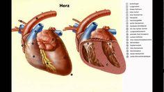 wie groß ist ein herz wie groß ist ein herz im übertragenen Sinne  die Größe des Herzens bei Menschen erheblich. wie groß ist ein herz Man könnte sagen manche haben das Herz einer Spitzmaus andere wiederum das Herz eines Blauwals.wie groß ist ein herz Faktisch jedoch ist das menschliche Herz in etwa so groß wie eine Faust. Im Gegensatz zu dem eines Blauwals: Sein Herz hat die Größe eines Kleinwagens Medicine Images, Human Heart, Blue Whale, Small Cars, Pet Dogs, Dinner Table, People