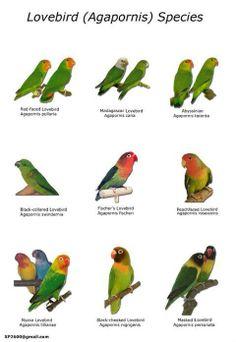 Especies de agapornis  más representativas. (ADJ)