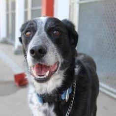 Peppy: Border Collie, Dog; Moline, IL  Peppy is a wonderful 5 year old Border Collie looking for a home. She is very gentle and sweet and walks fantastic on a leash. She would do best as an only dog and no cats. Please come meet her.This dog may be viewed in person at our shelter location, 4001 78th Avenue, Moline, IL 61265. Visit our website at http://www.qcpaws.org for more information on our shelter. 309-558-DOGS