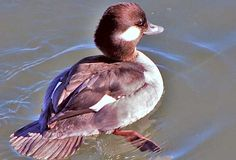 female bufflehead duck - Google Search