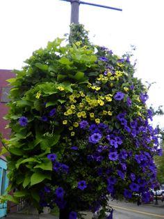"""HANGING BASKET green/purple.  Sweet potato vine, petunias & million bells. Eugene, Oregon.""-JA http://www.pinterest.com/pin/126171227030760315/"