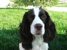 Blue is an adoptable English Springer Spaniel searching for a forever family near Kansas City, MO. Use Petfinder to find adoptable pets in your area.
