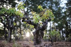 Early Signs Of A California Wine Revolution | California wine is finally getting interesting, and wine lovers can dare to hope that America's premier wine region will produce more wines of higher quality. What