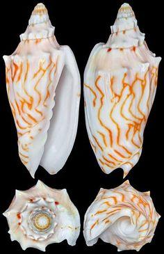 Cymbiola perplicata (Hedley, 1902) Coral Sea, Australia, by Chong Chen in fb