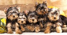 Yorkies are one of the most beloved dog breeds in the world and we're here to prove why they're such fun dogs to have around. Learn about Yorkies and share in our community! Bulldog Puppies For Sale, English Bulldog Puppies, Dogs And Puppies, Terrier Puppies, Cutest Small Dog Breeds, Cute Small Dogs, Havanese Dogs, Yorkies, Doberman Pinscher Puppy
