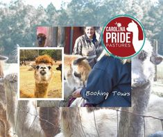 Visit our website to learn more about visiting our farm. Carolina Pride, Suri Alpaca, Cleaning Day, Great Pyrenees, Attendance, Fall Season, How To Memorize Things, Weather, Tours