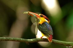 Black Backed Kingfisher with lizard in mouth.