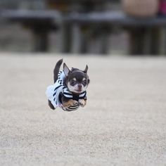 Chihuahua pictures give you a glimpse into the world of our favorite canine friends. You'll surely enjoy these running chihuahua dogs. Running brings pure joy… as seen in these dogs' eyes. Chihuahua Puppies, Chihuahua Love, Cute Puppies, Cute Dogs, Chihuahuas, Funny Animal Pictures, Dog Pictures, Cute Baby Animals, Funny Animals