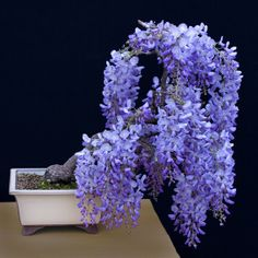 glycine en bonsai - Google Търсене