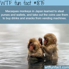 #1875 - Macaques monkeys in Japan learned to steal purses and wallets, and take out the coins to use them to buy drinks and snacks from vending machines
