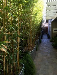 Planted in this hedge of the yellow groove bamboo, Phyllostachys aureosulcata spectabilis, has grown rapidly to make a tall narrow screen. The see-through effect is very graceful. This variety has green stripes on yellow culms.
