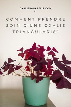 Zoom sur – l'Oxalis triangularis pourpre Indoor Orchids, Indoor Plants, Amazing Gardens, Beautiful Gardens, Oxalis Triangularis, Decoration Plante, Terrarium Plants, Floral Centerpieces, Permaculture