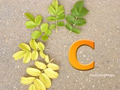 Uppercase letter C with autumn leaves. #fall #rose #ombre #alphabet #typography #initial #monogram #font