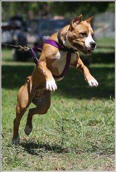 American terrier kennels