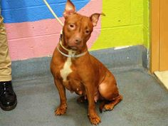 PLEASE HELP SAVE THIS BABY !! RTN AND BACK ON KILL LIST FOR 5/111/15 REPIN SHARE PLEDGE !!! PENNY aka PEARCE aka FIERCE – A1030016 **DOH HOLD 05/07/15**RETURNED 05/07/15 after 2 days**  SPAYED FEMALE, BROWN / WHITE, PIT BULL MIX, 5 yrs RETURN – ONHOLDHERE, HOLD FOR DOH-NHB Reason PETS CONFL Intake condition EXAM REQ Intake Date 05/07/2015, From OUT OF NYC, DueOut Date 05/07/2015,