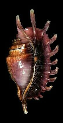 ~family Strombidae~~ Lambis millepeda,~~(Linnaeus, common name the millipede spider conch, is a species of sea snail, a marine gastropod mollusk. the true conchs Shells And Sand, Sea Shells, Snail Shell, Sea Snail, Shell Game, Seashell Art, Starfish, Jewel Of The Seas, Shell Collection