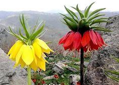 Flores llamadas OBSESION de la sierra en Querétaro Mexico