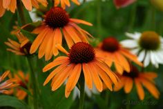 orange echinacea flowers - Yahoo Image Search Results