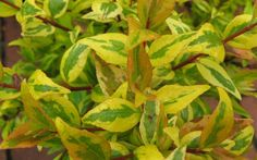 'Francis Mason' is an older favorite admired for its masses of long-lasting flowers and vibrant variegated foliage. The ovate leaves are yellow-green with bright yellow edges.