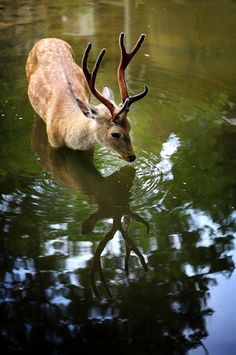 stag + reflection