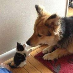Corgi and kitten nose boobs. Raining Cats And Dogs, Cute Cats And Dogs, Cats And Kittens, Dogs And Puppies, Baby Cats, Cute Baby Animals, Animals And Pets, Funny Animals, Belle Photo