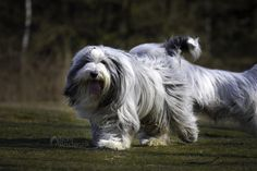 A moving Bearded Collie