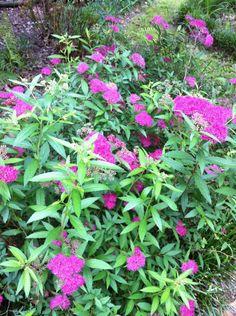 One of my Frances Waterer spireas beginning to bloom.