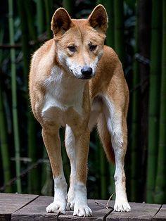 Dingo - Australian wild dog