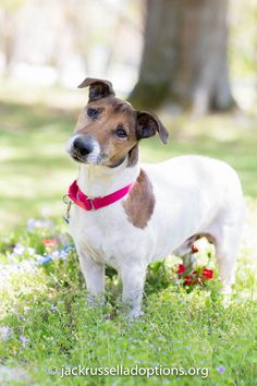 Spike, Adoptable Jack Russell | Georgia Jack Russell Rescue, Adoption & Sanctuary #dog #rescue #jackrussell #terrier #adopt