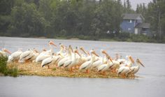 Pelicans at Grand Rapids, MB Canadian Travel, Yearning, Highlights, Scenery, Landscape, Landscapes, Hair Highlights, Paisajes, Highlight