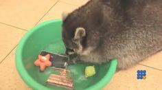 WebBuzz du 31/08/2015: Un raton laveur lave tout ce que vous avez-A racoon wash all you have  C'est mignon, un raton laveur, mais ça risque d'être très ennuyant ...  http://www.noemiconcept.com/index.php/fr/departement-informatique/webbuzz-tech-info/206935-webbuzz-du-31-08-2015-un-raton-laveur-lave-tout-ce-que-vous-avez-a-racoon-wash-all-you-have.html#vdieo