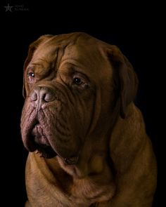 "This is Alqui, a beautiful, well behaved, peaceful and kindness ""Dogue De Bordeaux"" that I photographed during a photo shoot for the student association's calendar of my college."