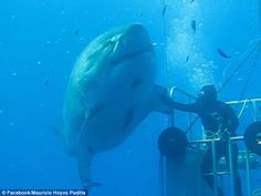 Deep Blue:New footage has been released of one of the largest great white sharks ever cau...