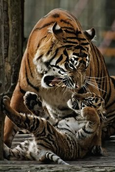 Mother Tiger Giving Her Cub a Warning Snarl. Big Cats, Cats And Kittens, Cute Cats, Siamese Cats, Nature Animals, Animals And Pets, Wild Animals, Beautiful Cats, Animals Beautiful