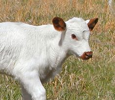 Red Point Calf born at Halliburton Farms. This breed originated from the White Park cattle. Crossbred with another breed, the gene became dominant only on the ears, and produced red eared cattle.